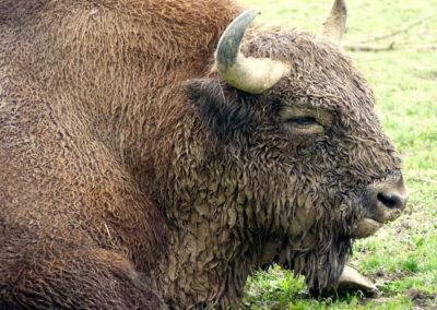 Bison Futé